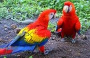 Sweet and lovely Scarlet Macaw parrots for sale