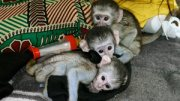 Babies Vervet Monkey