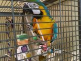 Yfjjj Blue And Gold Macaw Parrots For Rehoming