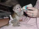 Charming Male And females Capuchin Monkeys for sale
