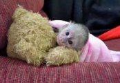 Hand Raised Capuchin Monkey for Sale