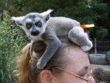Lovely Male and Female Lemur Monkeys for Sale