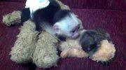 Wonderful companions Male and female Capuchin Monkeys Ready for sale