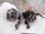 Marmosets Monkeys Available Now