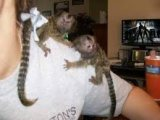 Beautiful Marmoset Monkeys Available for sale