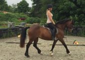 Friesian Horse available