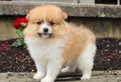 اثنين من رهيبة T- كوب كلب صغير طويل الشعر الجراء للبيع