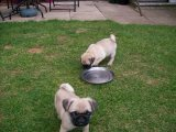 Well Trained Pug Puppies for sale