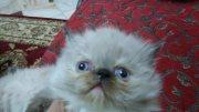 للبيع قطط اناث هيمالايا بيكي فيس شوكليت بوينت متميزة