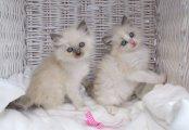 ذكران و انثى Ragdoll القطط للبيع.