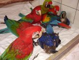 Home Raised Macaw Parrots For Sale