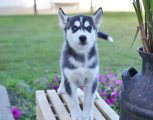 Adorable Siberian husky puppies for sale