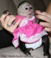 Clean registered Capuchin monkeys for sale