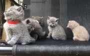 rr ..Cute Male and female British Short Hair Kittens For Sale