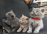 c ..Cute Male and female British Short Hair Kittens For Sale