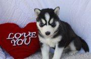 Cute Siberian Huskies