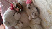 4 قطط هيمالايا متميزة بيكي فيس