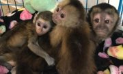 Clean and well trained Capuchin Monkeys for sale