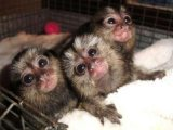 Sweet Marmoset Monkeys For Sale.