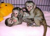 القرود capuchin للبيع