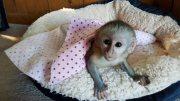القرود الكبوشي المتاحة
