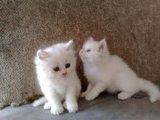 مجانية القطط الفارسية والإناث للبيع