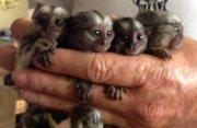 القرود الذكور والإناث marmoset للبيع,,,,