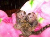 Good Baby Marmoset Monkeys