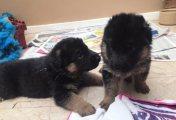 Adorable German Shepherd Puppies ready to go