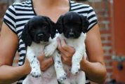 Trained English Springer Spaniel Puppies for sale