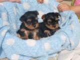 T-Cup Yorkie Puppies for sale