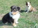 Friendly Shetland Sheepdog Puppies for sale