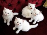 home trained male and female persian kittens for sale