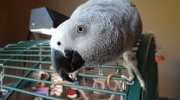 Congo African Grey Parrot Available