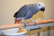 talkative african grey parrot for adoption