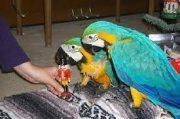 Beautiful Blue and Gold Macaws,
