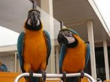 Gorgeous Tamed & Talking Blue & Gold Macaw