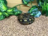 Ball Python Snakes For Sale