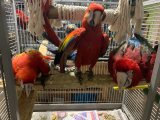 Beautiful Baby Greenwing And Scarlet Macaws Parrots