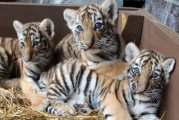 male and female Tigers Cubs  For Sale