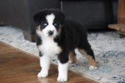 Australian shepherd puppies available for adoption