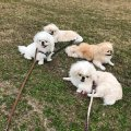 Sweet  pekingese puppies for sale