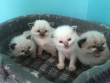 home raise males and females ragdoll kittens for sale