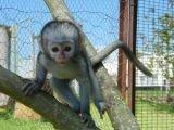 Tamed Capuchin monkeys For Adoption