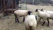 For sale sheep and rams