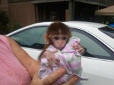 CHARMING FACE CAPUCHINO MONKEY FOR SALE