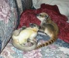 LOVEING MALE AND FEMALE KINKAJOU AVAILABLE NOW FOR