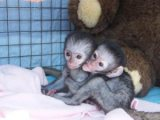 Lovely and jovial purebreed Capuchin monkeys For Fee Adoption