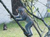 Babies  monkeys For Adoption