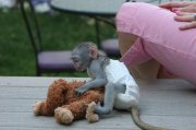healthy and home trained capuchin monkeys for sale